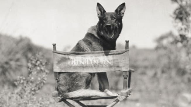 zvířecí hvězda Rin Tin Tin