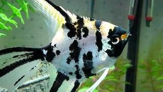Angelfish.