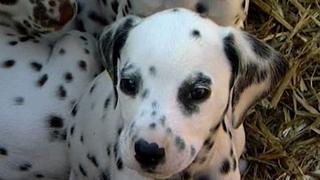 Dalmatian Has...16 Puppies!