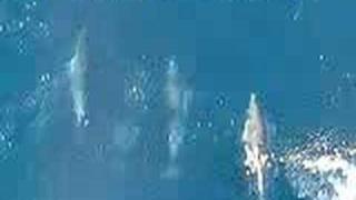 Dolphins Bow Wave Surfing on Cargo Ship