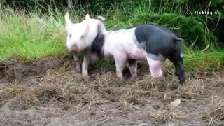 Little piglets