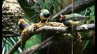 Tropical Aviary Showcase for Finches
