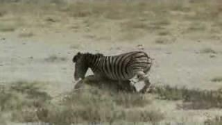 Zebra vs Lion, zebra owns and destroys lion. yeah man lion got pazoned!
