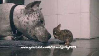 Adorable! Pit Bull CLEANS Baby Bunny (Cottontail Rabbit) in HD. Bunny & Dog