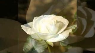 Bílá růže - Milan Chladil