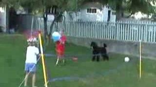Cleo the Standard Poodle Learns to Play Volleyball