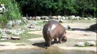 HAHAHA Hippo gets explosive diarrhea!