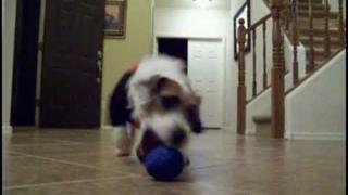 Jesse the Energetic Jack Russell Terrier