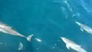 Largest Dolphin Pod EVER... WOW!!!