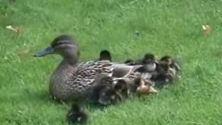 Mother Duck & 12 Little Baby Ducklings. Cute! Full version.