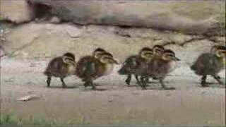 Mother duck and ducklings in the street